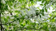 Bird cherry white blossom trusses and new green leaves, trembling in the spring light wind. video