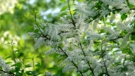 Bird cherry white blossom trusses and new green leaves, waving in the spring light wind on blur bright green background. video