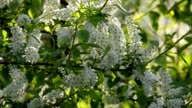 Bird cherry white blossom trusses and new green leaves, waving in the spring wind on blur sunlit background. video