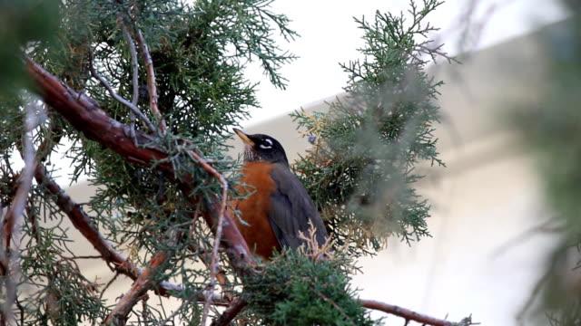 Bird Chirping video