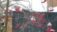 Bird eating berries in the snow. video