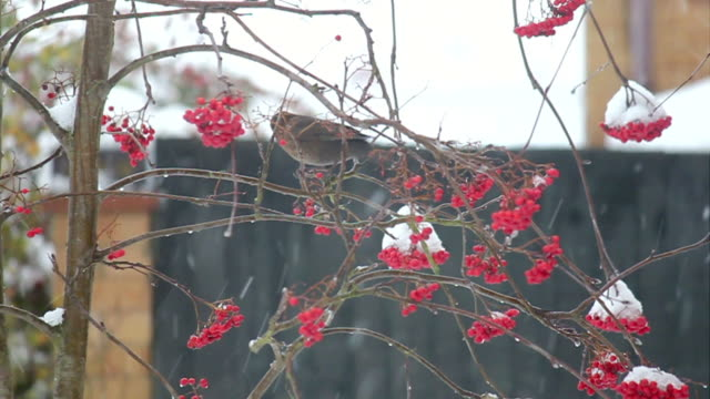 Bird eating berries in the snow. video