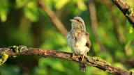 Bird Eurasian Wryneck perching on branch and singing after migration. video