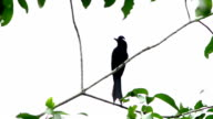 Bird Greadter Racket-tailed Drongo video