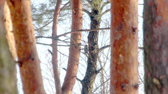 Bird in pine forest. Great spotted woodpecker knocking on tree video