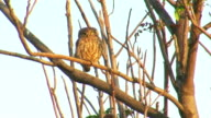 Bird Little owl landed in front of the nest video