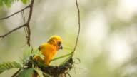 Bird making bird's nest on the tree video
