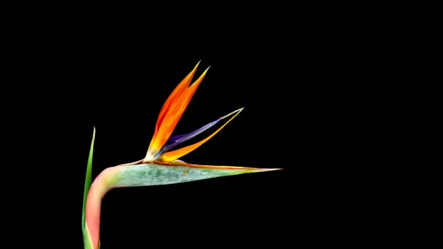 Bird of Paradise; TIME LAPSE video