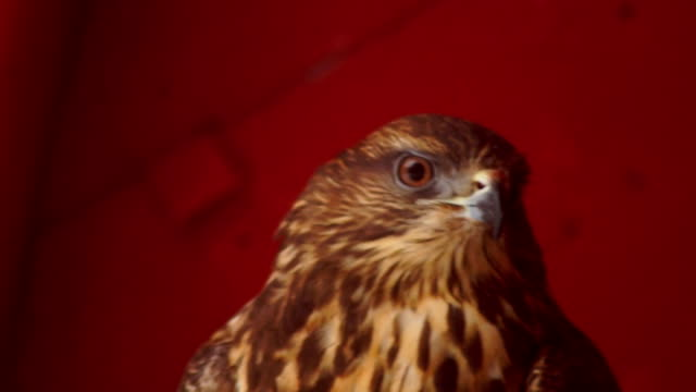 bird of prey in winter time video