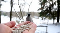 Bird pecking grain from hand. slow motion video