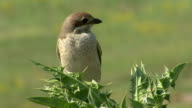 Bird Red-backed Shrike landed on top the bush waiting insects. video