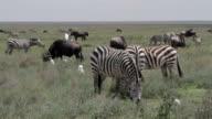 bird riding on wildebeest video