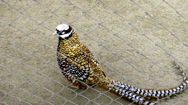 Bird, royal pheasant video