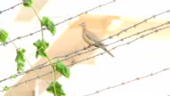 Bird sitting on barbed wire video