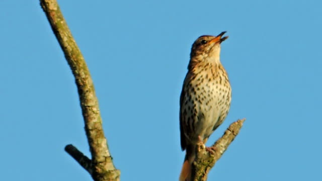 Bird Song - Male Song Thrush (Clip 1 of 3) video