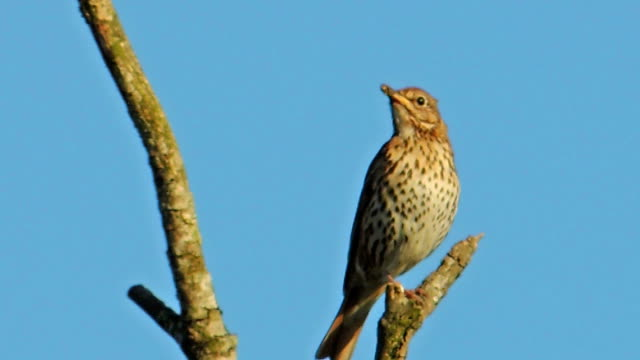Bird Song - Male Song Thrush (Clip 2 of 3) video