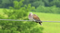 Bird Turtule dove landed on a wire and perching video