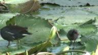 Bird walking in the swamp 2 - HD 60i video