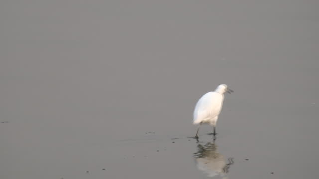 bird walking video