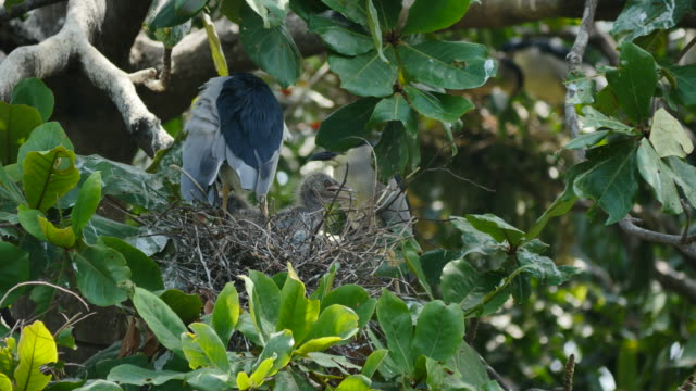 Bird (Black-crowned night heron) with flapper in a nest on tree. video