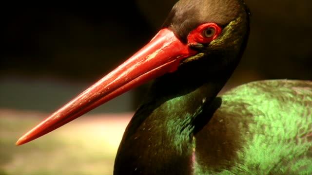 Bird with red beak video