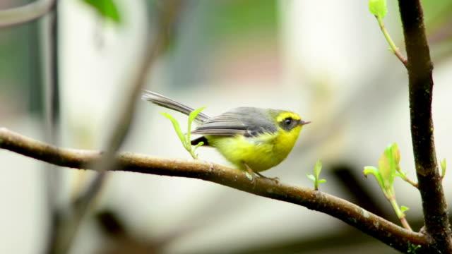 bird Yellow-bellied Fairy-Flycatcher video