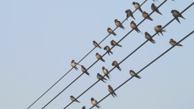 Birds and wires. video