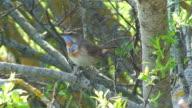 Birds: Bluethroat (Luscinia svecica) video
