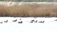 Birds ducks Eurasian Teal feeding in winter lake video