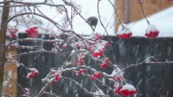 Birds feeding on berries in the snow video