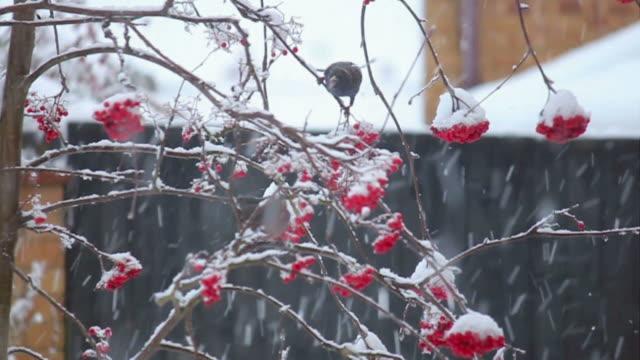 Birds feeding on berries in the snow video