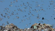 Birds Flying Over Garbage At The Dump video