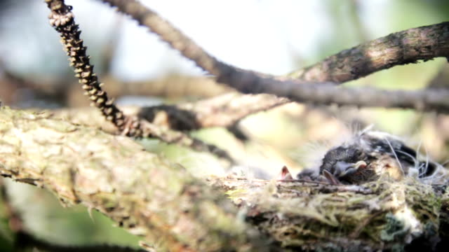 Birds in nest video