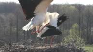 Birds in Nest (любовь и аисты) video