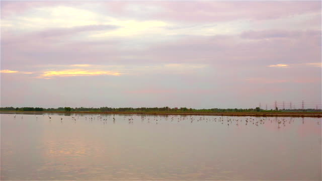 Birds in rice fields on evening video