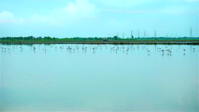 Birds in rice fields on morning video