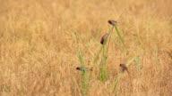 Birds in the rice fields (Lonchura punctulata) video