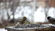 Birds in the trough with sunflower seeds video