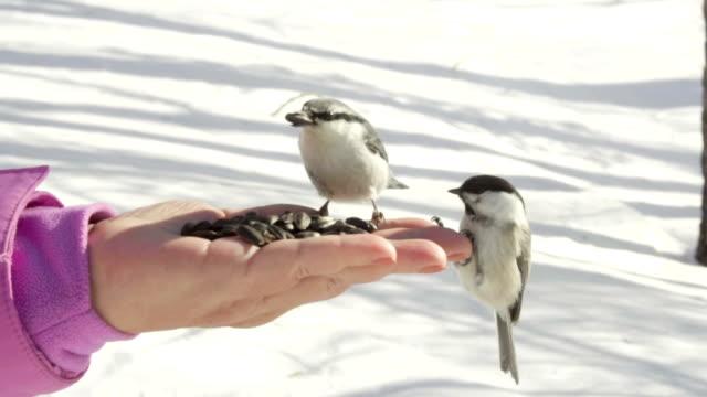 Birds in women's hand eat seeds video