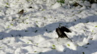 SLOW MOTION: Birds looking for a food in winter video