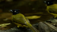Birds of Thailand, Rain forest wildlife video