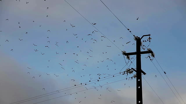 birds on electric wire video