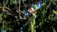 Birds on fir in forest video