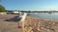 Birds on the beach at Watson bay, Sydney, Australia video