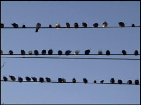 Birds on Wire 1 video