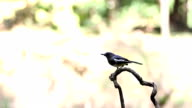 Birds Oriental magpie robin(Copsychus saularis) branches in a forest video
