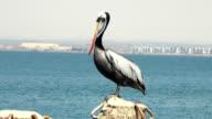 Birds - Peruvian Pelican video
