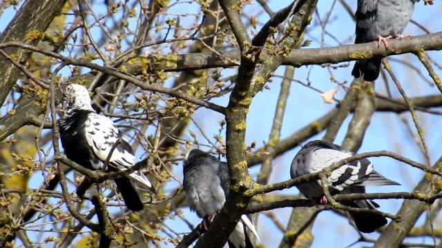 Birds series: Pigeons sitting at tree video