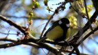 Birds series: tit, crow, starling video