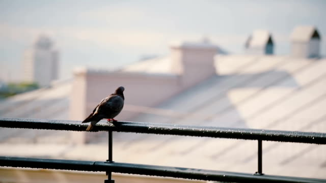 Birds sits on a roof parapet in sunny day. Pigeon looking around and flies away video